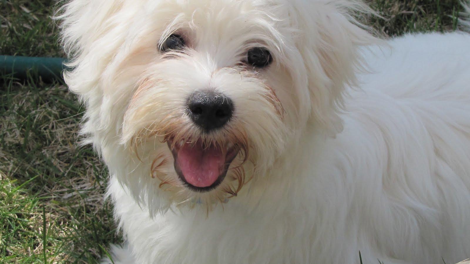 Cotonshoppens How To DIY dog haircut  YouTube