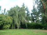 My willow tree