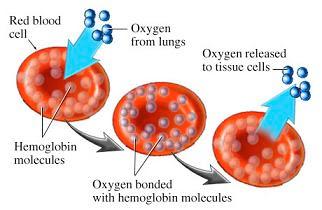 http://1.bp.blogspot.com/_PTC3CXZ3b4k/R2r529JdjSI/AAAAAAAAALQ/PeuaaWerxmo/s400/hemoglobinOK.JPG
