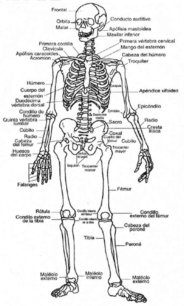 partes del cuerpo humano. del esqueleto humano,
