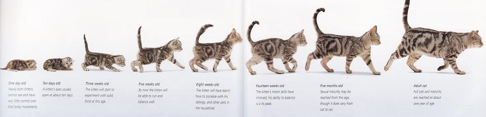 Возраст котенка