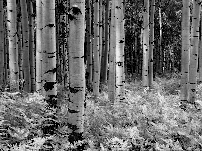 Birch Tree Wallpaper on Black And White Birch Forest Wallpaper