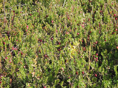 Ripe cranberries ready to harvest