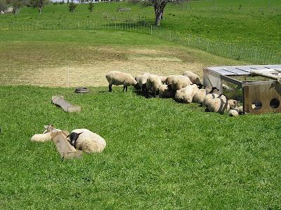 Meeting Place Organic Farm Sheep