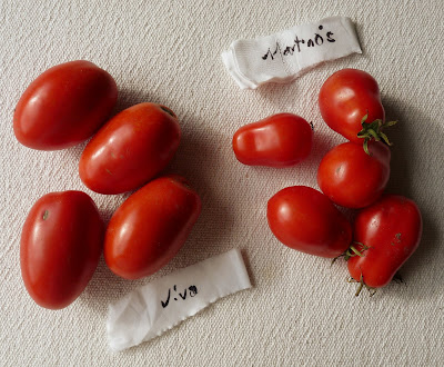 Martino's Roma and Viva Italia Tomatoes