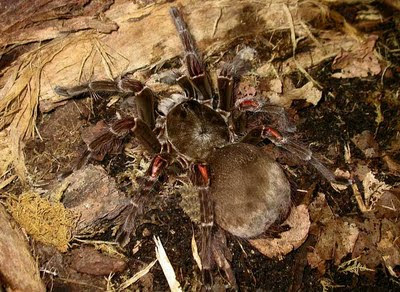 South american goliath birdeater - photo#16