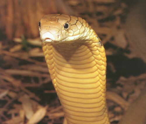 King Cobra Snakes Wallpapers