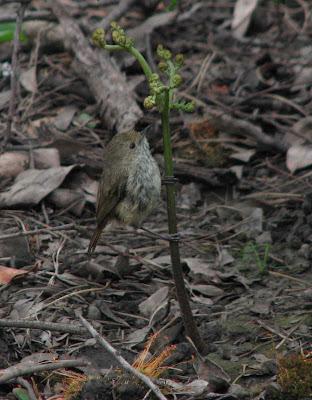 birds return to kinglake west after black saturday bushfire