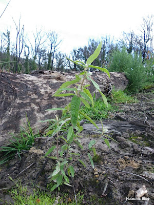 Snowy Daisy Bush Olearia lirata regenerating in Kinglake West after Black Saturday Bushfires