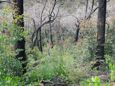 Mt Disappointment State Forest regeneration after Black Satrurday bushfires. Eucalyptus epicormic growth after fire.