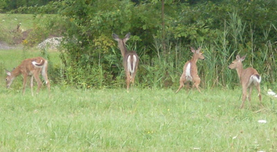 four white-tail deer, startled, near Fairport NY (c)2008 jcb