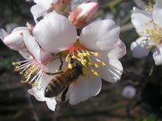 La Polinización del Almendro en Chile