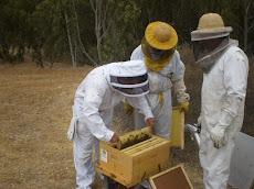 Inspeccionando colmenas en Chile