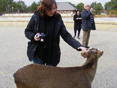 Eines von 1200 zahmen Rehen in Nara
