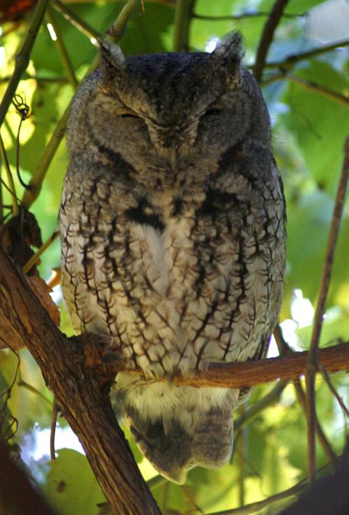 Screech owl 2
