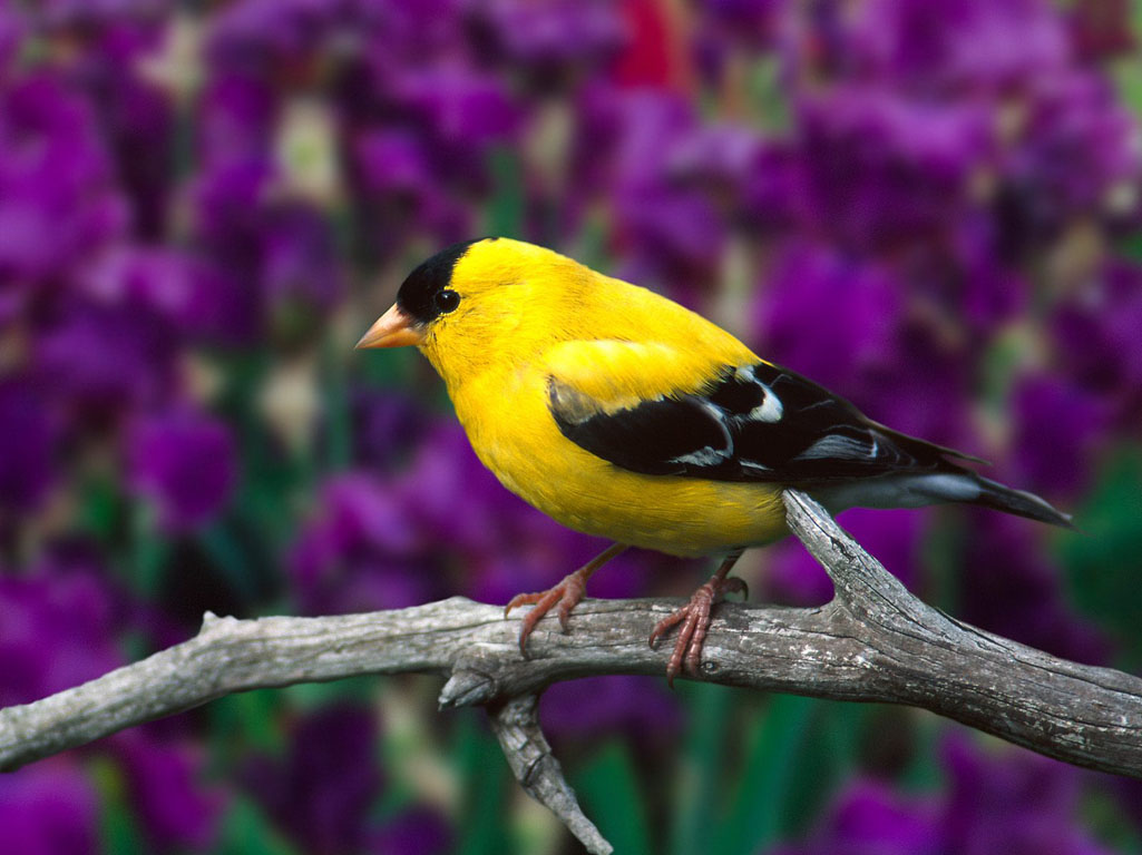 Colorful Birds Wallpapers 1024 768