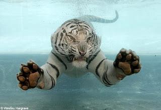 swimming white tiger