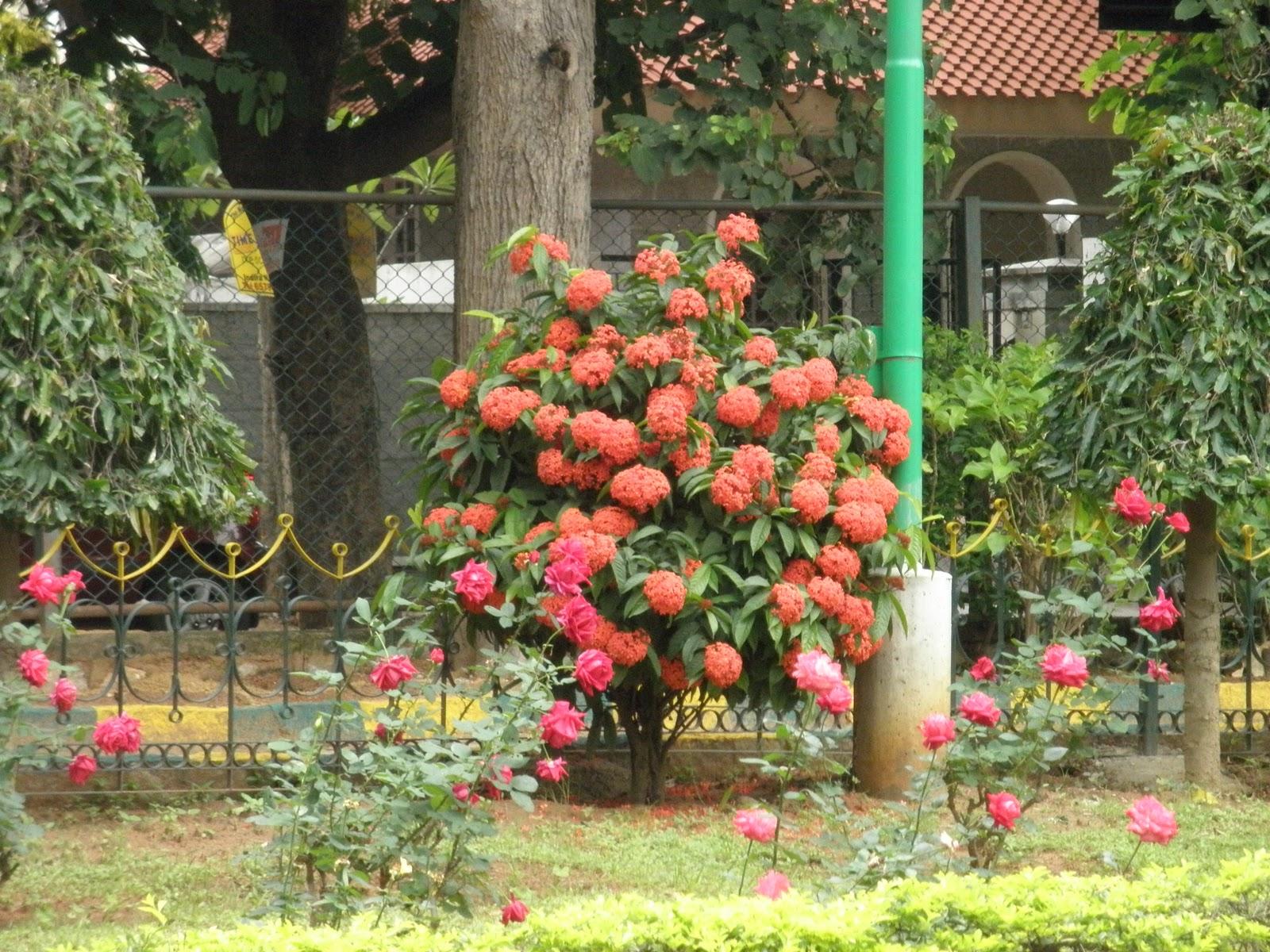 Trees Plants Amp More Ixora