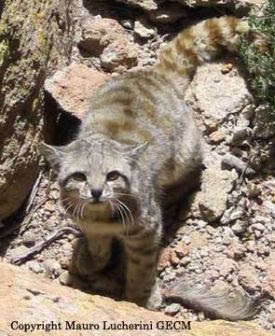 Andean Mountain Cat (above)