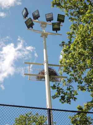 Here you can see one of the light poles whose design was altered to preserve the platform used by the parrots to anchor their nest
