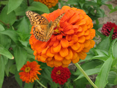 Butterflies and Zinnias 2007