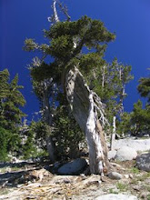 pinus california