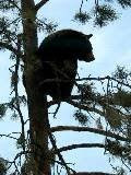 This Bear Is Up a Tree
