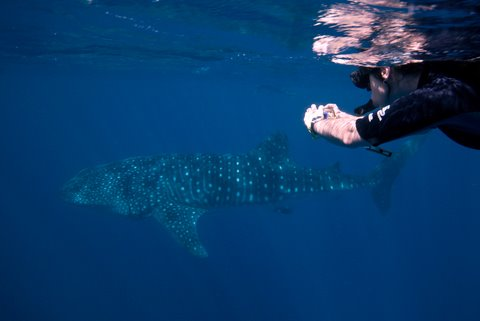 Studying the Whale Shark with ECOCEAN.