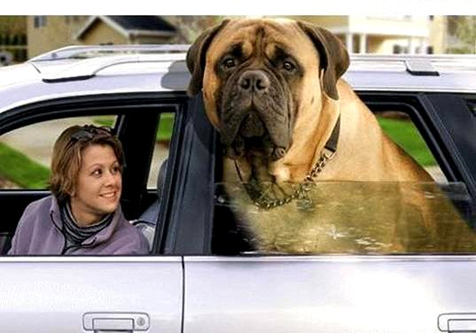 [Obama_AmericanMastiff2.jpg]