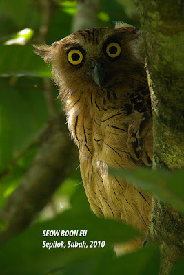All wild buffy fish owl in sabah for Do owls eat fish