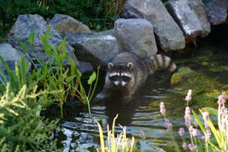 From the pondlady 39 s pad getting rid of raccoons for Do raccoons eat fish