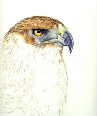 golden eagle drawing. of a Golden Eagle from one