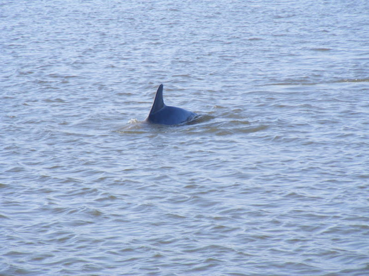 Dolphin on the ICW
