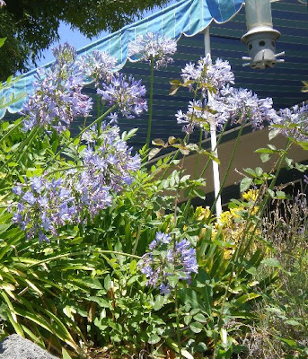 Agapanthus, photo by Rosemary West © 2009