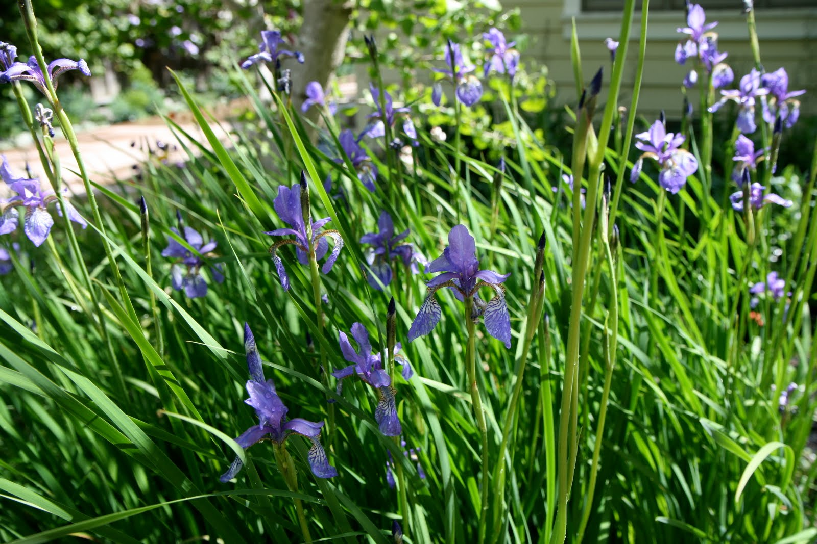 Musings of a garden lover april 2010 when they are not flowering they look like slumps of coarse grass so i plant them next to plants with contrasting foliage forms siberian iris izmirmasajfo