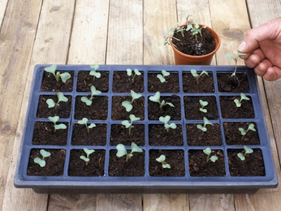 how to grow broccoli from seed in containers