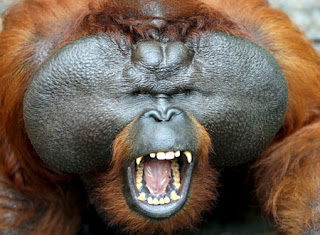 Photo of orangutan courtesy of metro.co.uk