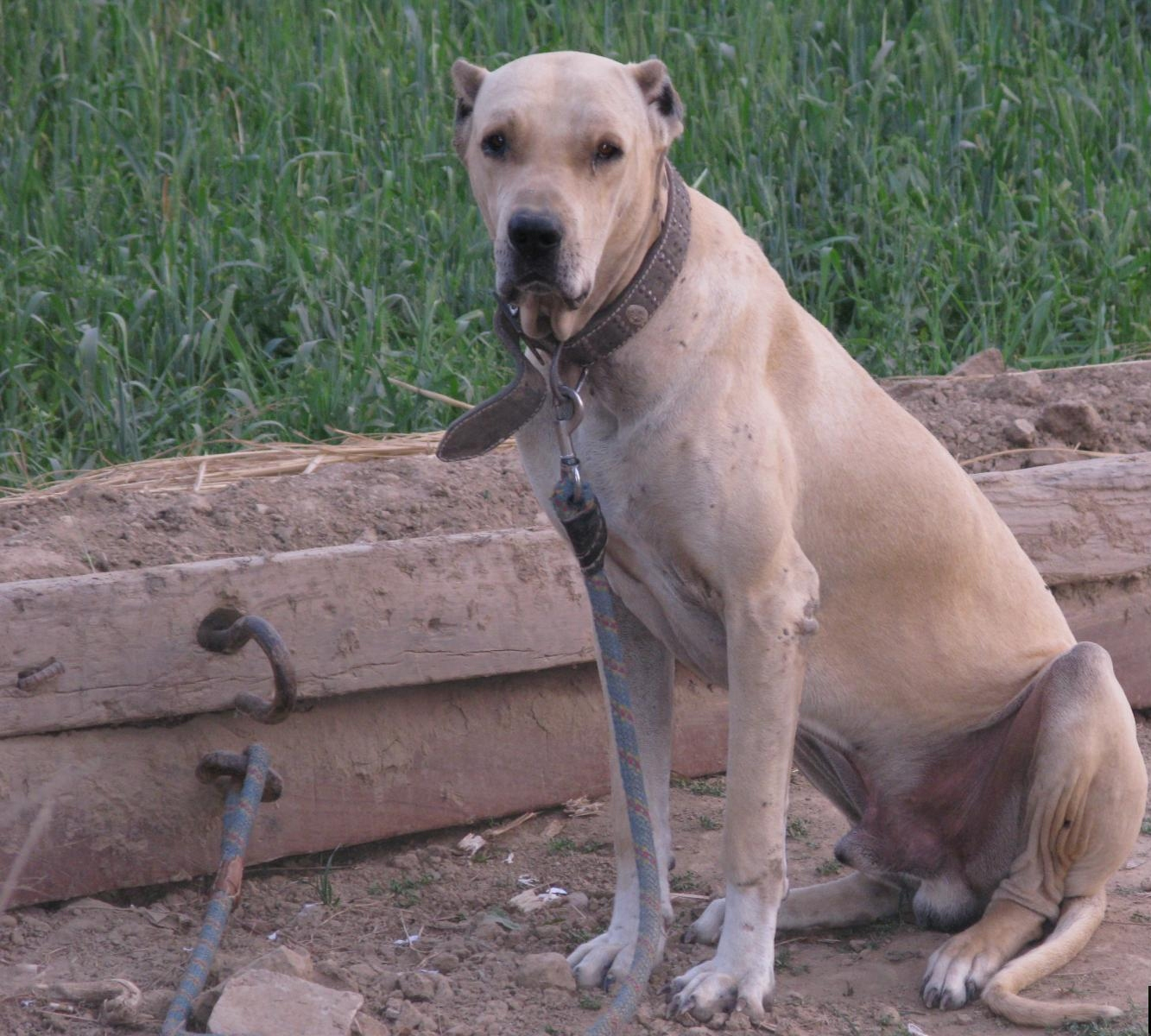 All About Dogs Breed Bully Kutta