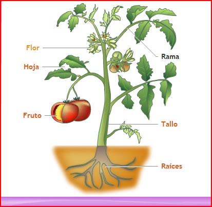 Blog educativo para la ense anza for Como obtiene su alimento un arbol