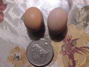 Telur ayam serama sebesar duit 20sen