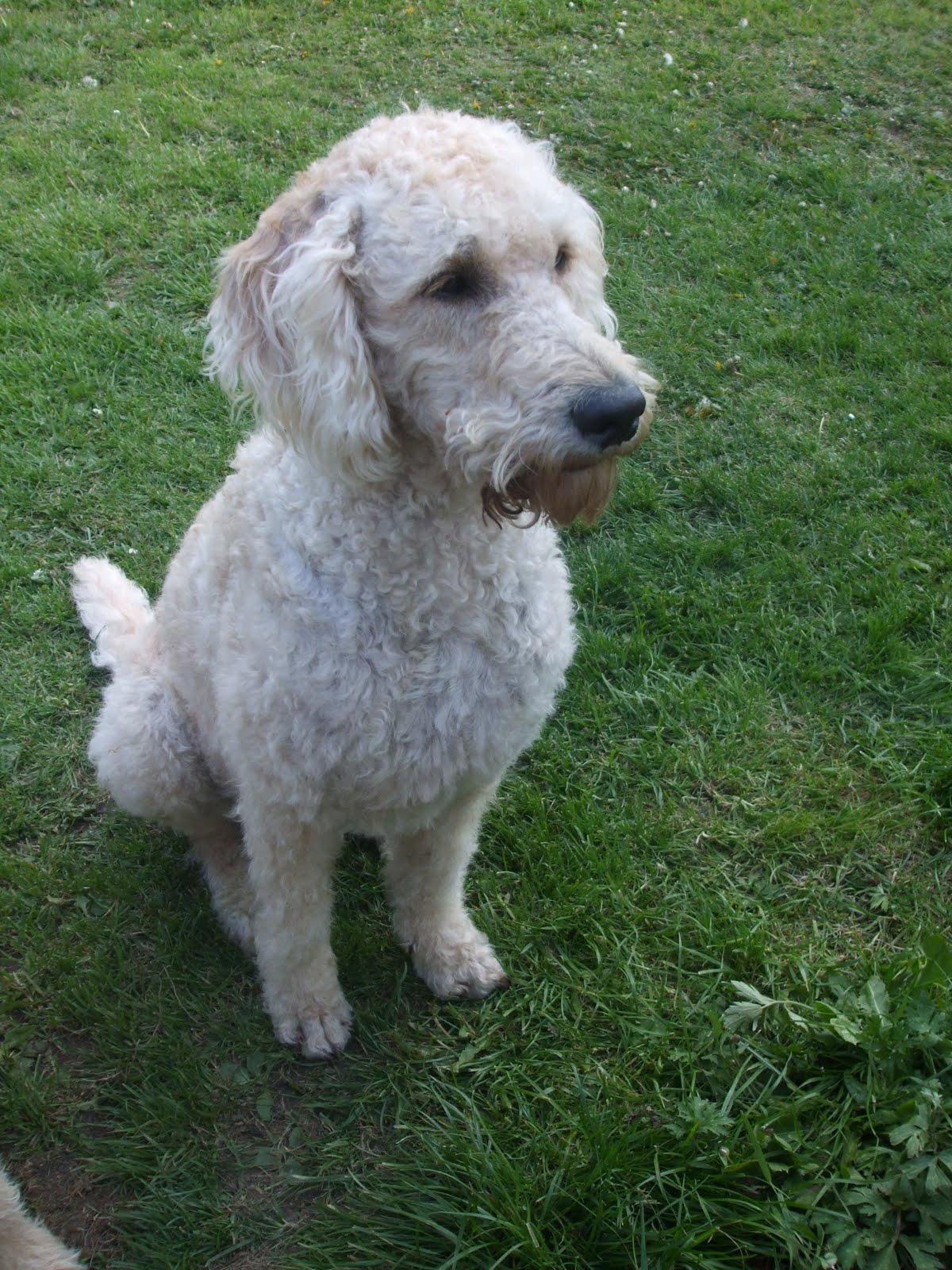 Pictures of Labradoodle Haircuts http://macthedoodle.blogspot.com/2010/05/haircut.html