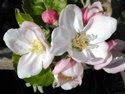 Flores de Bach, Rescue