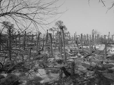 Dead trees in Um Slal Mohammed