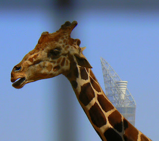 giraffe in Doha zoo