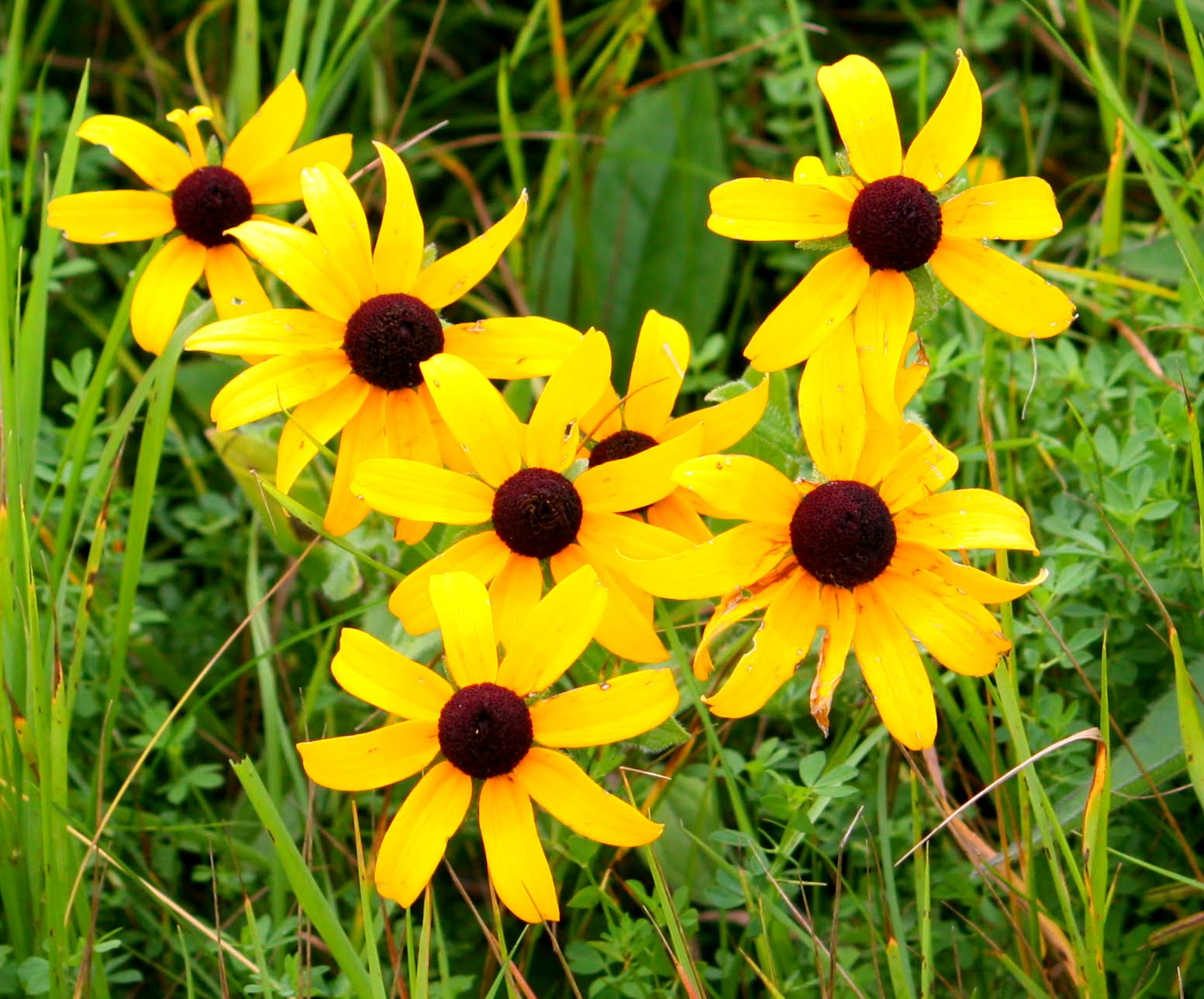 Susan Mayer 39 S Haven Black Eyed Susan Rudbeckia Hirta