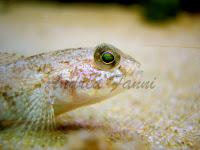 ghiozzi - fotografia subacquea