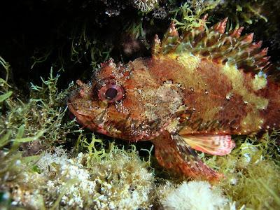 Scorfani - fotografia subacquea