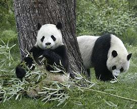 Los osos pandas también están en peligro de extinción