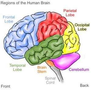 http://1.bp.blogspot.com/_Q4ctnwRmalY/S8WQcTFAh1I/AAAAAAAAAF4/jdIn43iDea8/s1600/human-brain-small.jpg