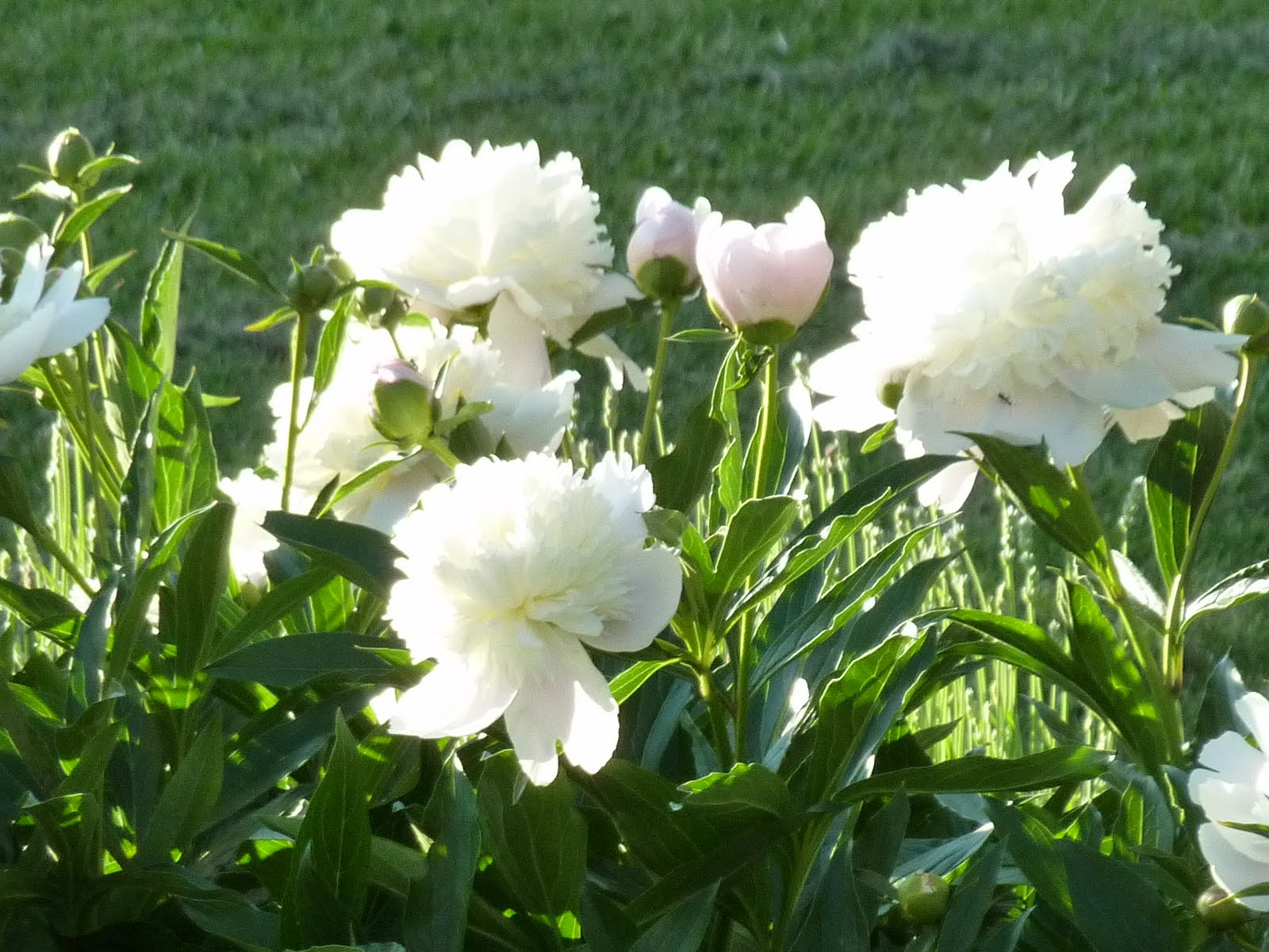 Blooming Hill Lavender Farm Consider the Peony